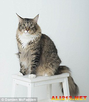 一节更比六节强!英国最大的猫体积是普通猫的三倍