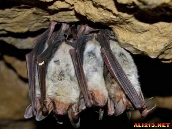 """像人类一样,蝙蝠也有自己的朋友,例如:它们会喜欢和""""朋友""""在一起倒悬,在蝙蝠洞穴里会有数千只蝙蝠,它们是如何找到自己的伙伴的呢?研究人员发现蝙蝠会大声叫这些同伴,这是一些特殊的叫声,会让特定的同伴听到,事实上这种呼叫类似于人类呼唤朋友的姓名。"""