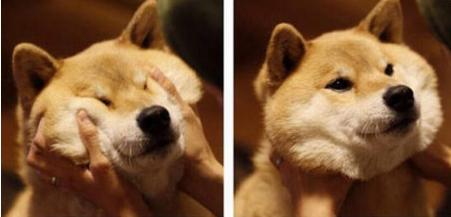 下面就请大家欣赏下捏完脸不反弹的日本柴犬吧!