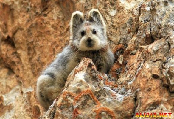 好软好萌好可爱!稀有动物泰迪脸伊犁鼠兔引关注