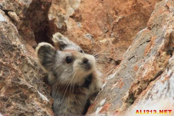 稀有动物泰迪脸伊犁鼠兔引关注