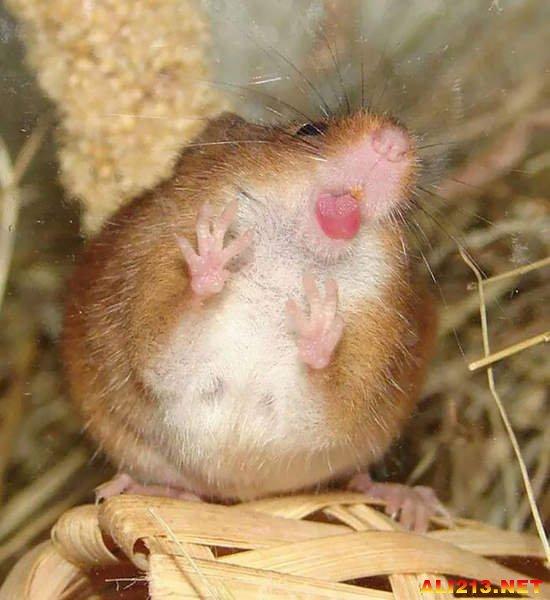 超可爱的动物舔玻璃瞬间 用舌头舔不是用牙齿撞啊!