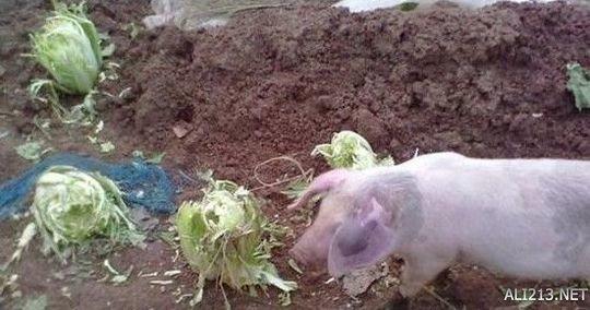 猪拱白菜斗图图片带搞笑图片表情喝酒的字图片