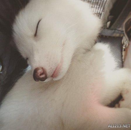 2个月大的小白狐可爱无极限