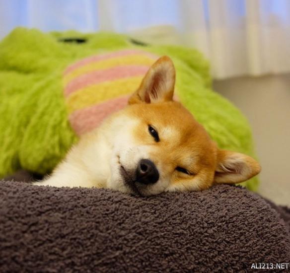 自带天生约海绵?可爱的柴犬姑娘又来卖萌表情宝宝包困的图片气息图片
