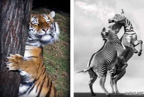 动物打架的卡通图片