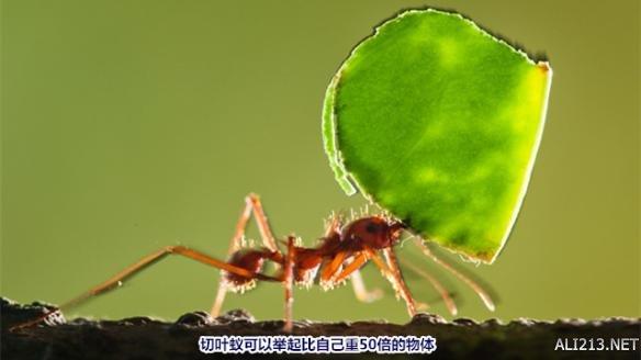 切叶蚁的种类多达47种,大都分布在中美洲,南美洲,墨西哥以及美国的部分地区。仅仅在过去的几年时间里,地面上切叶蚁的巢穴已经发展至100英尺宽。如果将一些零散分布在周围且规模较小的巢穴也算上的话,总面积大约为6500平方英尺。在这样的一个巢穴里居住的蚂蚁竟然多达800万只!   令人讶异地是,就动物聚集地的规模和复杂程度而言,蚂蚁仅次于人类。蚂蚁所拥有的巨大力量,某一部分源于它们的社会体系。在蚂蚁社会中,蚂蚁依据体型分为不同等级,从而执行不同的任务。有的蚂蚁负责照顾真菌性植物花园;有的负责切割树叶并把