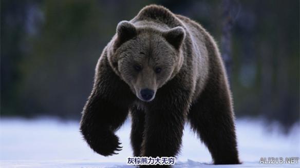 灰棕熊最早发现于北美洲,是世界上最大的熊。灰棕熊平均高达6.5英尺,宽超过3英尺。成年雄性灰棕熊平均体重可达400—790磅重,更是曾有灰棕熊体重达1500磅。灰棕熊的前爪有2—4英寸长且力大无穷,不费吹灰之力便可以撕碎任何东西。尽管它们体型庞大,但是它们奔跑的时速可是可以达到每小时35英里呢!2013年,史上第二大灰棕熊被猎人拿下。后期测量,灰棕熊头盖骨的大小超过了27英寸。   灰棕熊每年有5-7个月是在冬眠,这期间它们不吃不喝也不排泄。但冬眠以前,它们会大量进食,会捕食