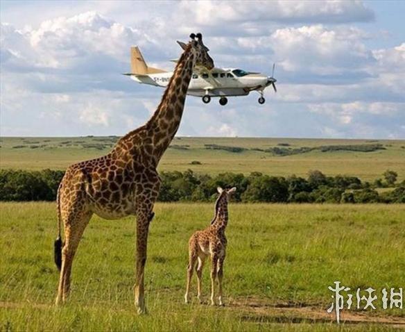 请帮我搜索动物长颈鹿的图片