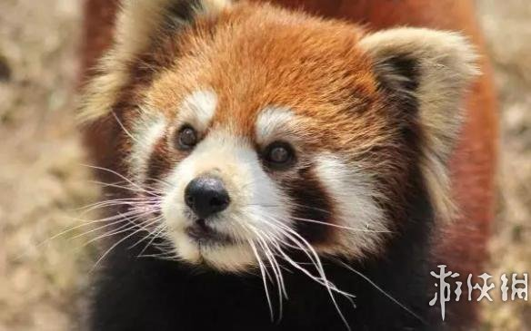小熊猫   动物界最萌的生物?还是最贱贱的生物?