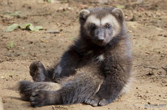 """这些可爱的动物都配备了强有力的手臂和锋利的爪子,让""""金刚狼""""捕获像"""
