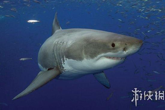 大白鲨是世界上最大的掠食性鱼类
