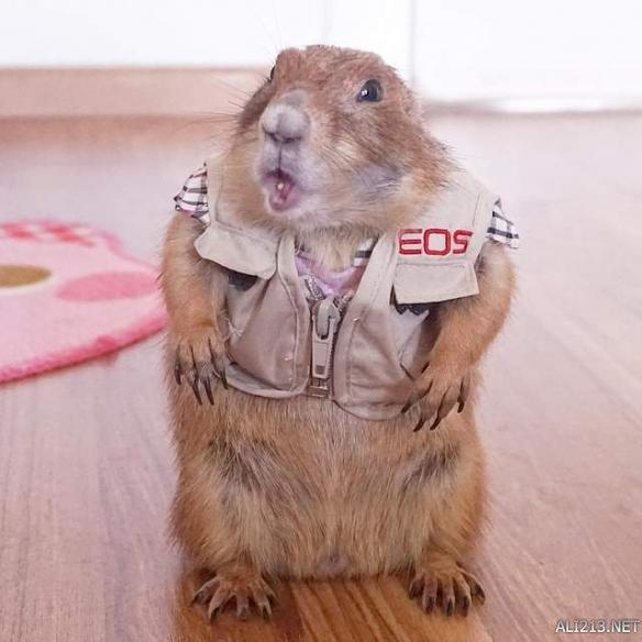 instagram上的一只超可爱的土拨鼠弟弟,主人为其搞时装秀