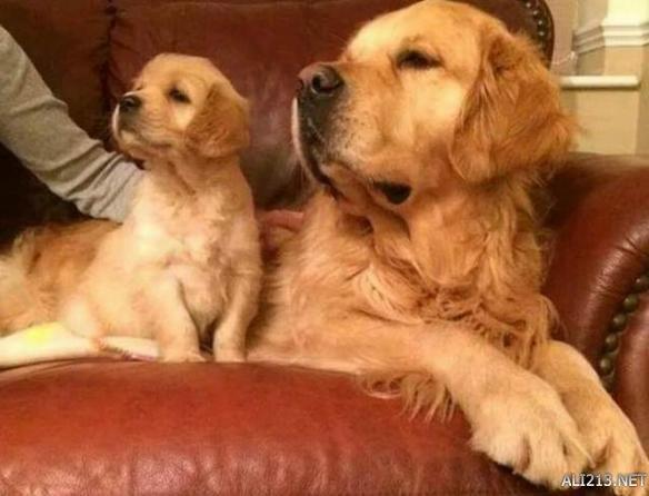 有其父必有其子,萌犬亲子照简直就是复制粘贴啊!