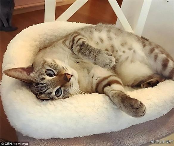 日本对眼猫成网红 眼神太销魂 让人忍不住情陷其中