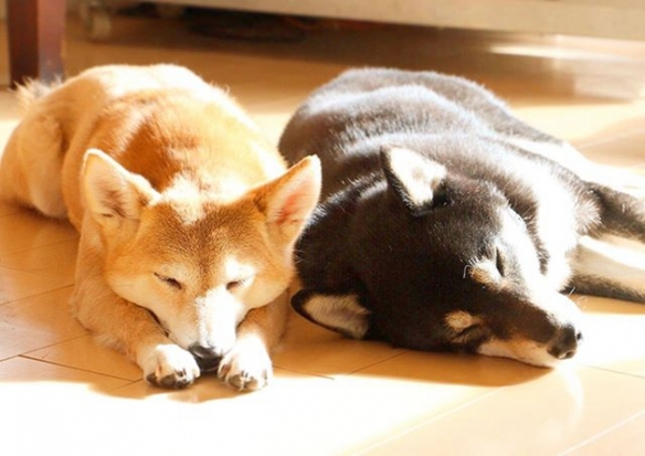 日本柴犬兄妹暖心萌图走红网络 开启宠妹模式一起看遍美景