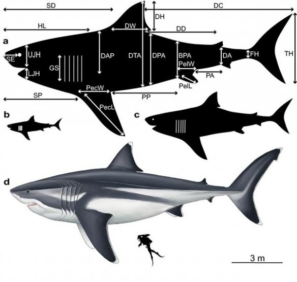 科学家恢复2300万年前巨齿鲨 体长超18米体重超48吨