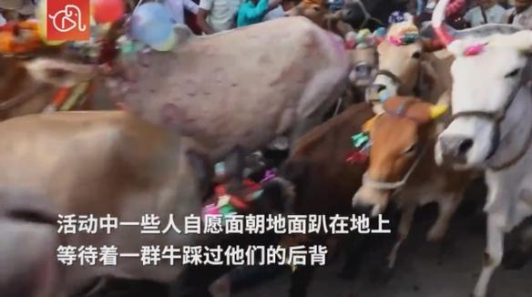 印度教徒趴地上让200多头牛踩 以此来祈求带来好运