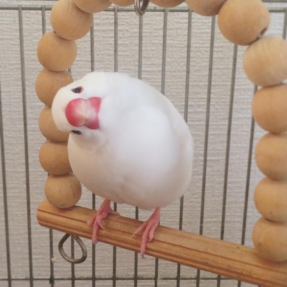 这可能是最可爱的比赛了!日本文鸟歪头冠军赛萌照赏