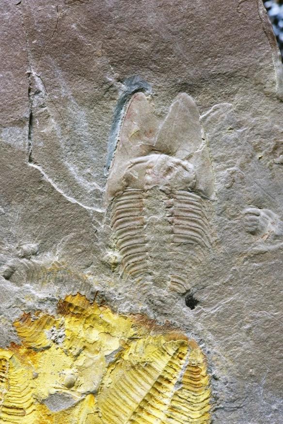 90后研究生用周杰伦专辑命名5亿年三叶虫:范特西虫!