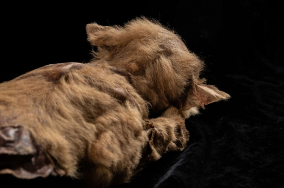 冰河期以来最完成的狼标本!57000年的狼崽木乃伊!