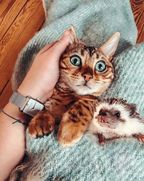 镜头感满分!网红刺蝟&小豹猫的日常:友谊融化内心!
