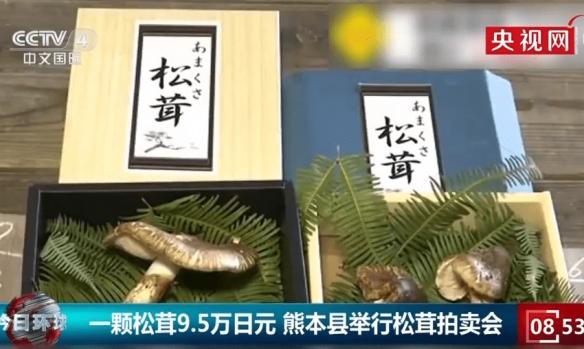 日本松茸拍卖会一颗高达9.6万日元 价格昂贵但好卖!