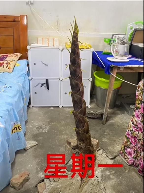 女老师宿舍长出4米高竹笋 网友:这是'笋'到家了!