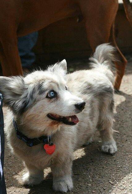短腿、大屁股的基因好强大!15张混过柯基的各种狗