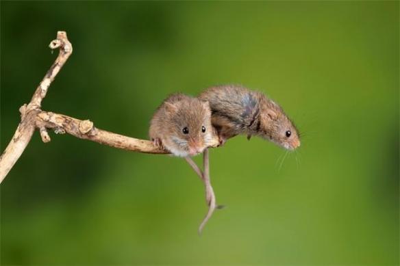 中国科学家成功让公鼠怀孕!顺利诞下10只健康幼崽