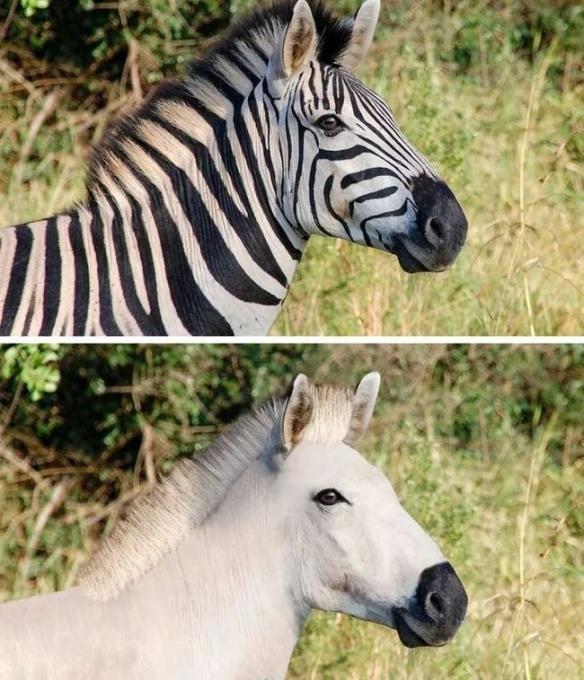 当动物们失去主要外貌特征:老虎这么清秀是怎么回事?