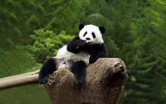 大熊猫全球圈养总数达到673只!累计11只放归自然!